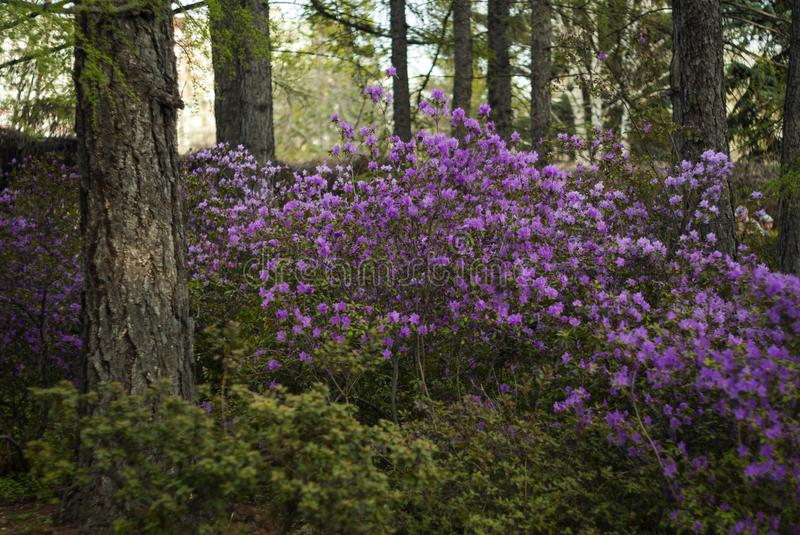 Blooming rhododendron in the city park in the spring stock photo