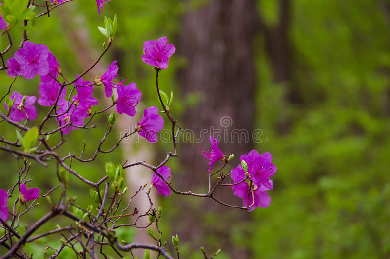 Blooming rhododendron daur stock photo