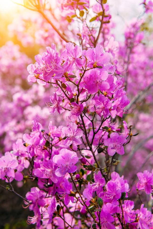Blooming rhododendron in the spring in the Altai mountains, close-up. Beautiful lilac-pink flowers in the sunlight. Wallpapers. Flower backgrounds royalty free stock photos