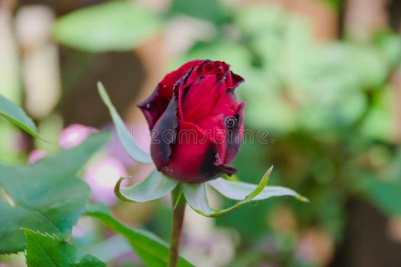 Blooming rose bud royalty free stock image