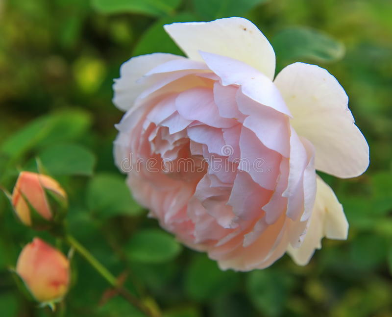 Blooming rose in the garden on a sunny day. David Austin Rose stock images