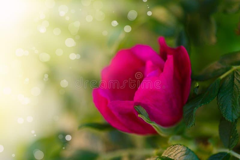 Blooming rose hip royalty free stock image