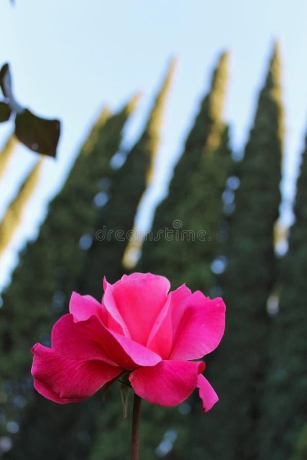 Blooming Rose royalty free stock image
