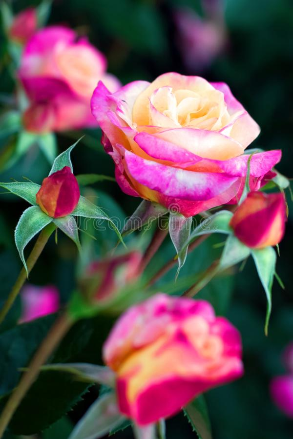 Blooming roses are red, pink and yellow flowers. stock images