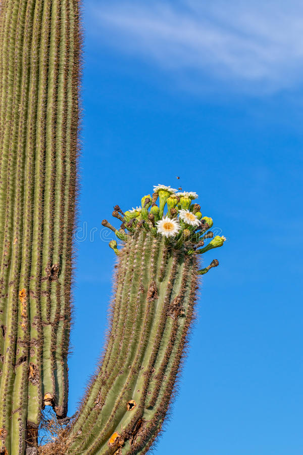 Download Blooming Saguaro Cactus stock image. Image of outdoors - 41071419