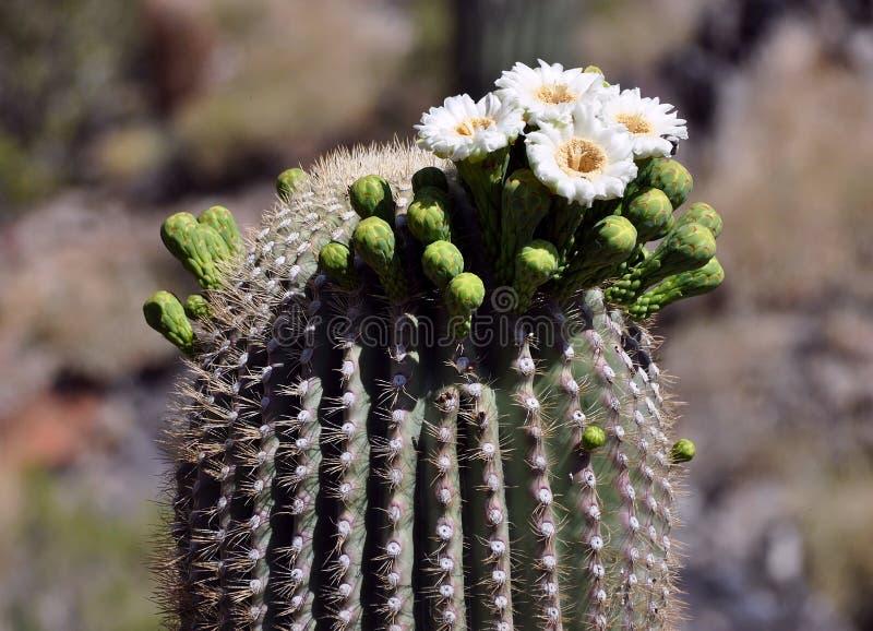 Blooming saguaro cactus flower. Saguaro cactus in bloom with flowers stock photos