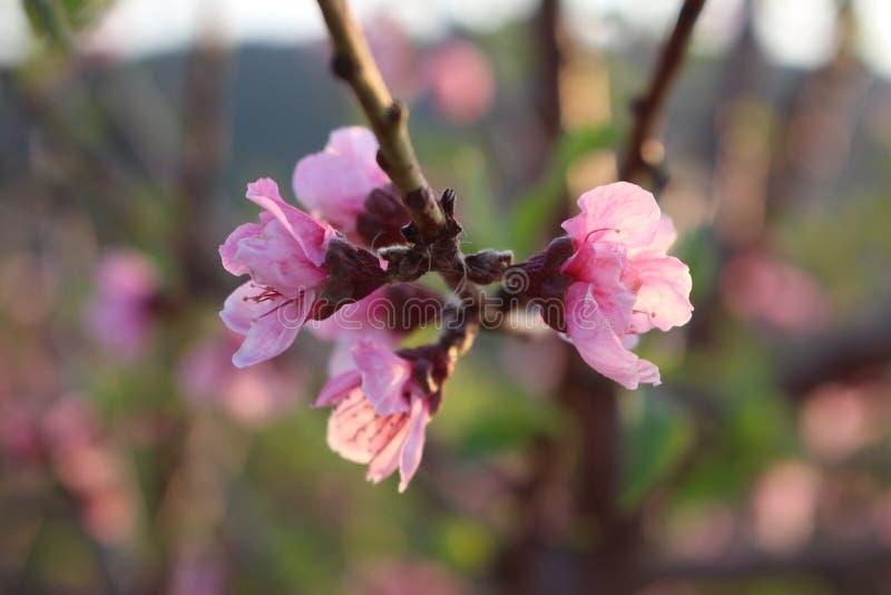 Blooming Sakura Flower 梅花 stock images