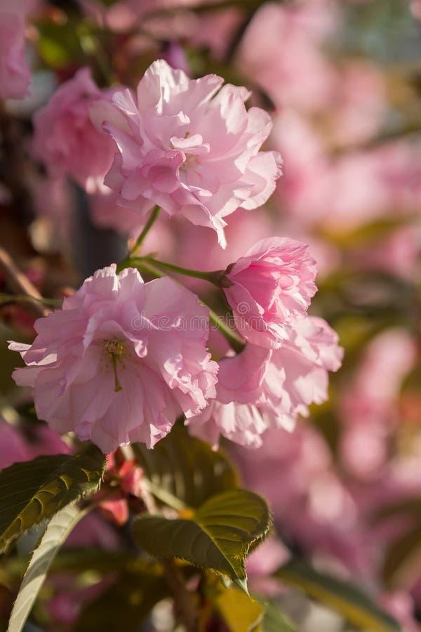 Blooming sakura flowers in spring royalty free stock images