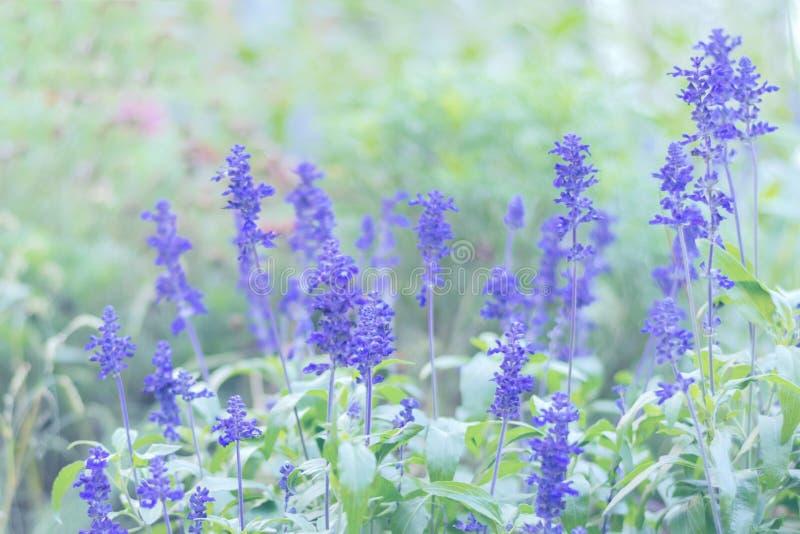 Blooming Salvia bloemen groeit op het wialveld Florale achtergrond met violette bloemen in slechte blauwe tinten met kaak stock foto