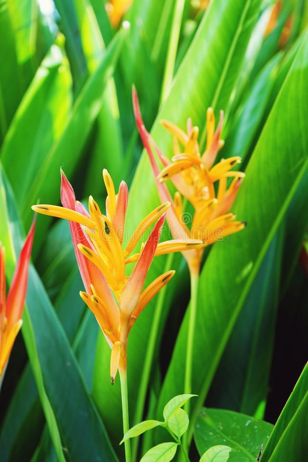Blooming bird of paradise flower with green leaf background. Blooming saturated bird of paradise flower with green leaf background stock images