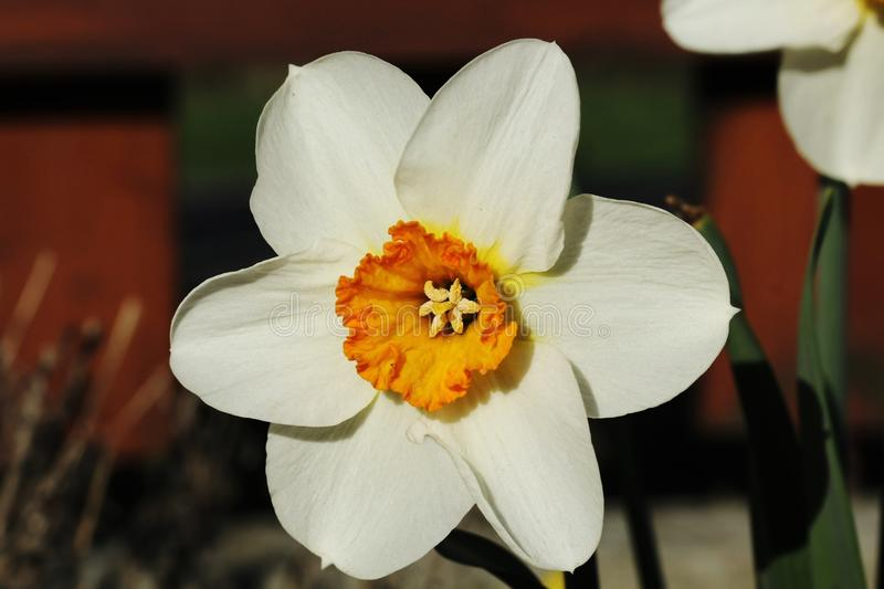 White narcissus. Blooming Narcissus spring in a garden stock images