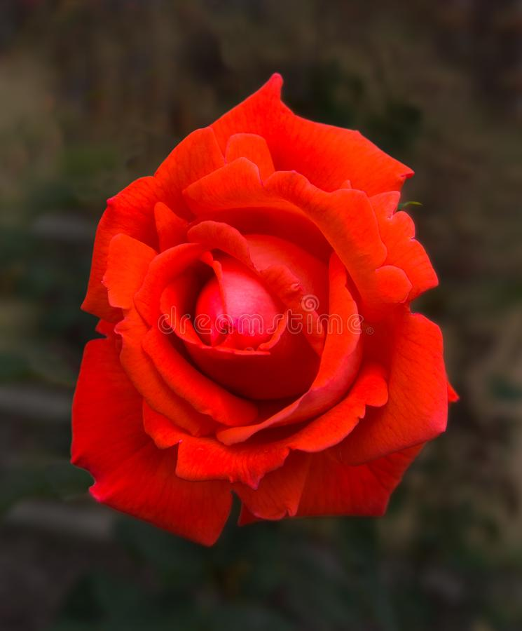 Blooming Single Red Rose in garden blurred background royalty free stock photo