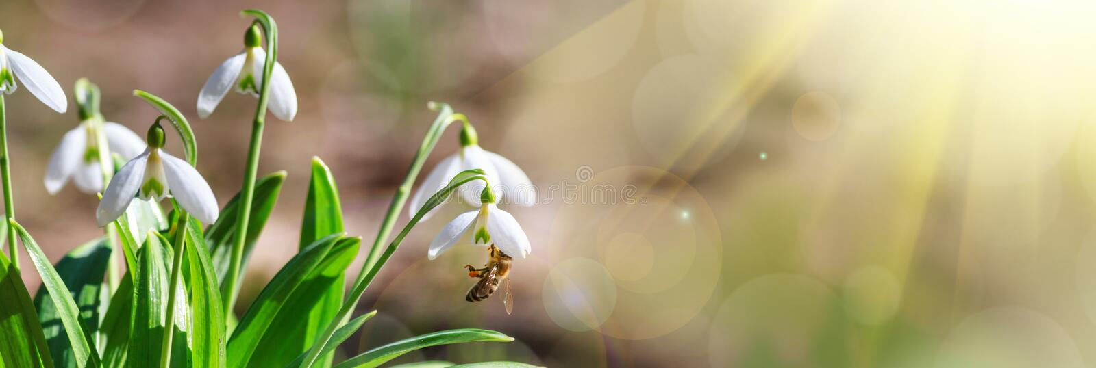 Blooming snowdrops Galanthus nivalis and their pollinating honey bee in early spring in the forest stock image