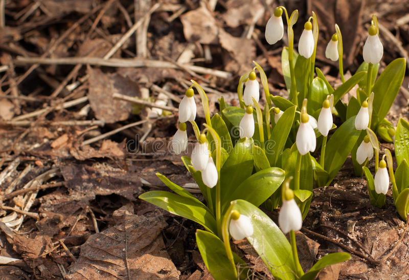 Blooming snowdrops Galanthus woronowii at spring on the ground stock photography