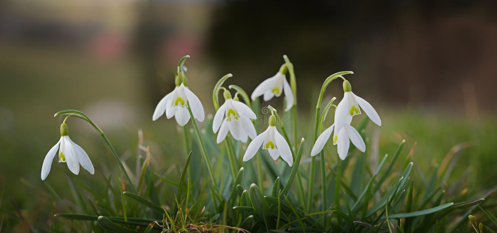 Blooming snowdrops with soft green background, panorama. Blooming snowdrops with soft green background, spring is coming soon. panorama format stock photography