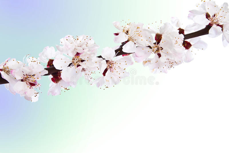 Blooming Sprig Of Almond. Royalty Free Stock Image
