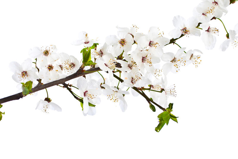 Blooming Sprig Of Cherry. Royalty Free Stock Photos