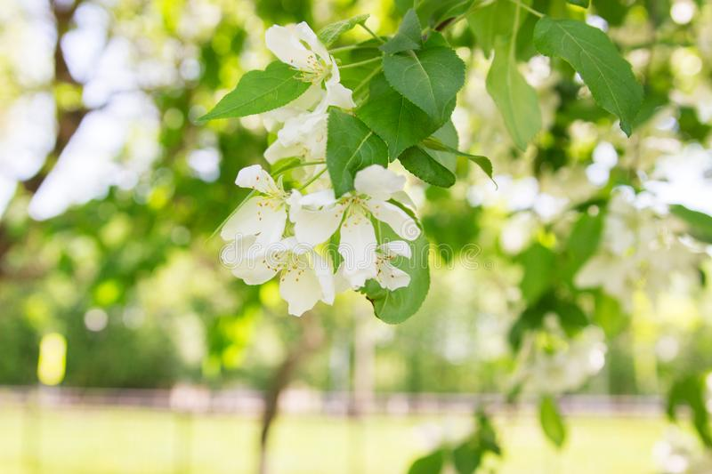 Blooming spring apple tree park. Blooming spring apple tree park outdoor rest stock images