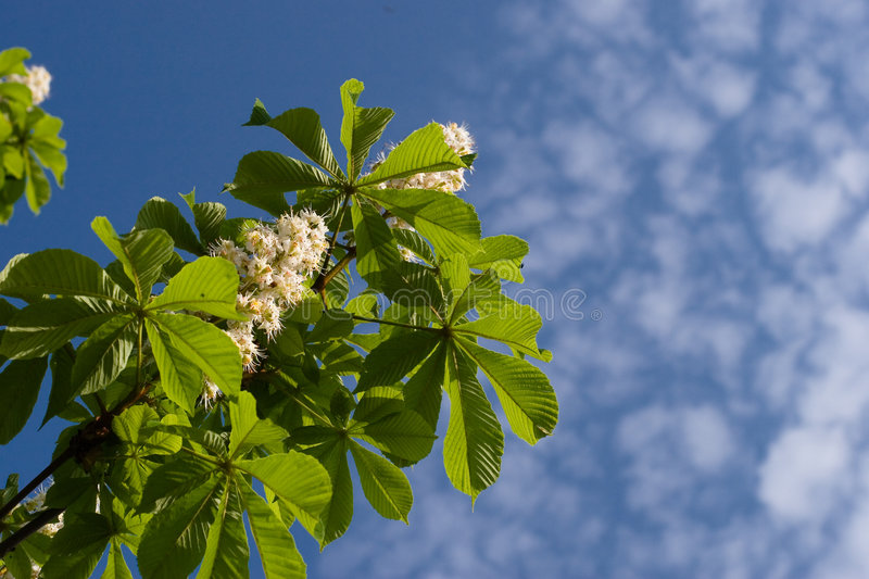 Blooming spring chestnut royalty free stock photos