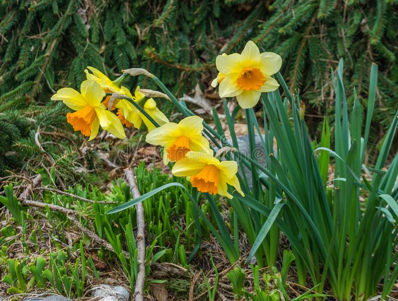 Blooming Spring Daffodils 2 royalty free stock photo