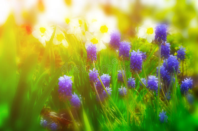 Blooming spring flowers - daffodils and muscari. stock images