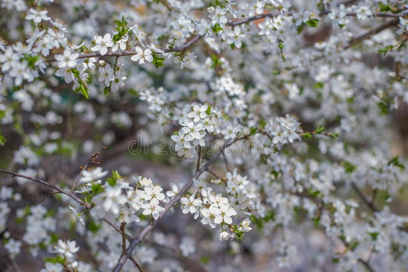 Blooming spring garden, Blooming spring garden. Blooming spring garden, flowers of a tree in spring royalty free stock photos