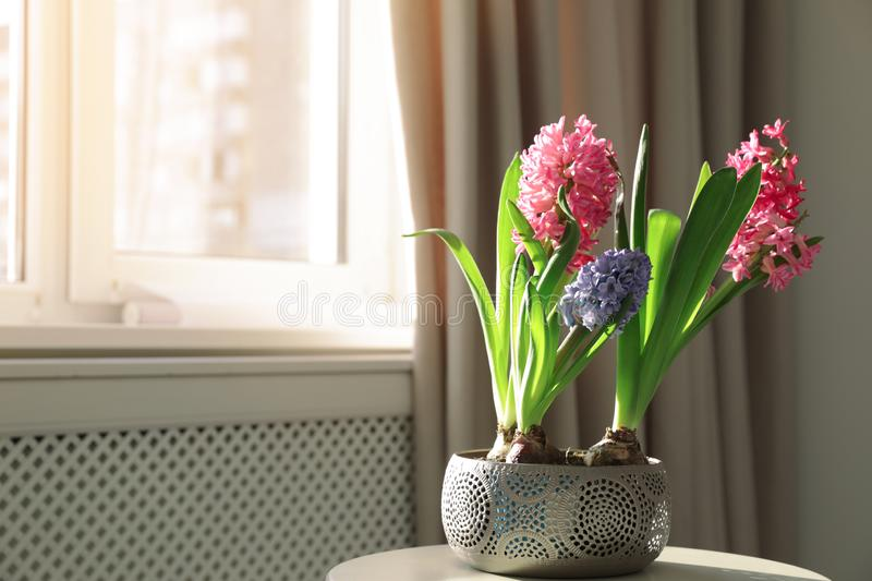 Blooming spring hyacinth flowers on table near window at home. Space for text royalty free stock image