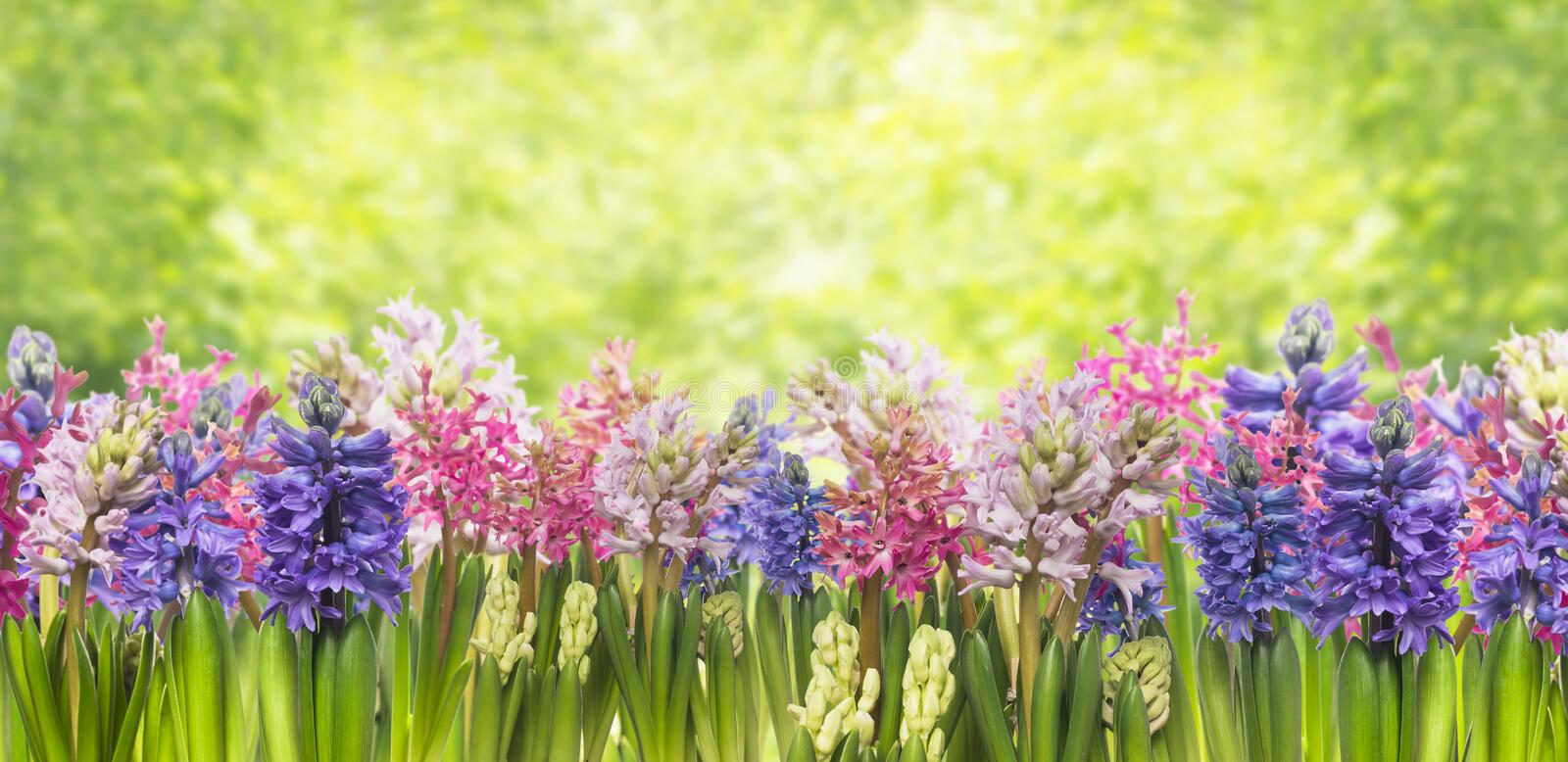 Blooming spring hyacinths flowers plant in garden royalty free stock photography