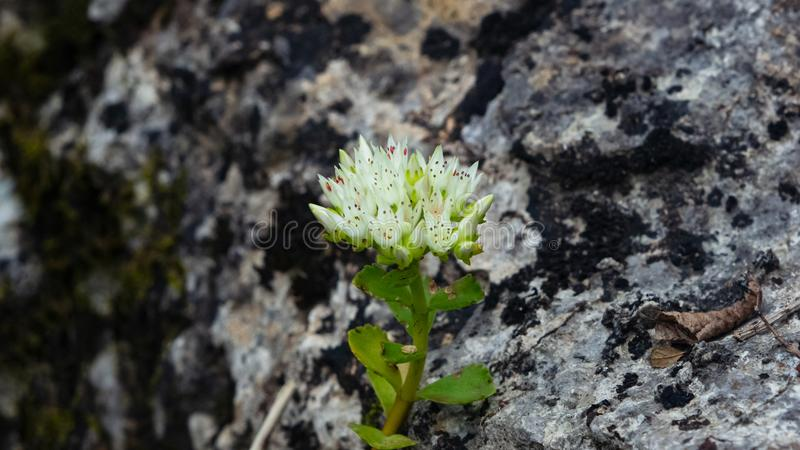 Blooming Stonecrop Sedum oppositifolium on rocks with small white flowers macro, selective focus, shallow DOF royalty free stock images