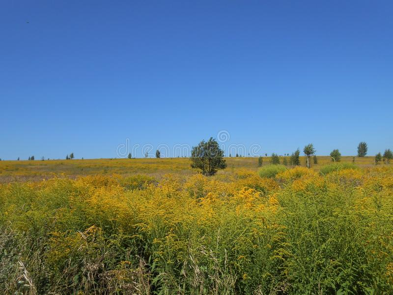 In the blooming summer field. In the field in the summer in the clear day. Big area covered with many yellow flowers and steams of different plants. Few trees stock image