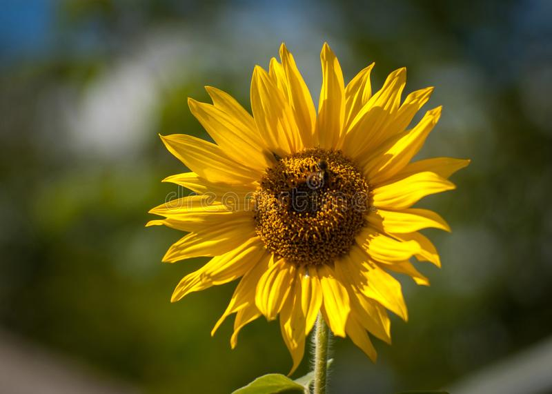 Blooming sunflower on a blurry background of foliage. Close-up royalty free stock photography