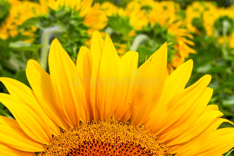 Blooming sunflower close-up in the rays of the summer sun royalty free stock image