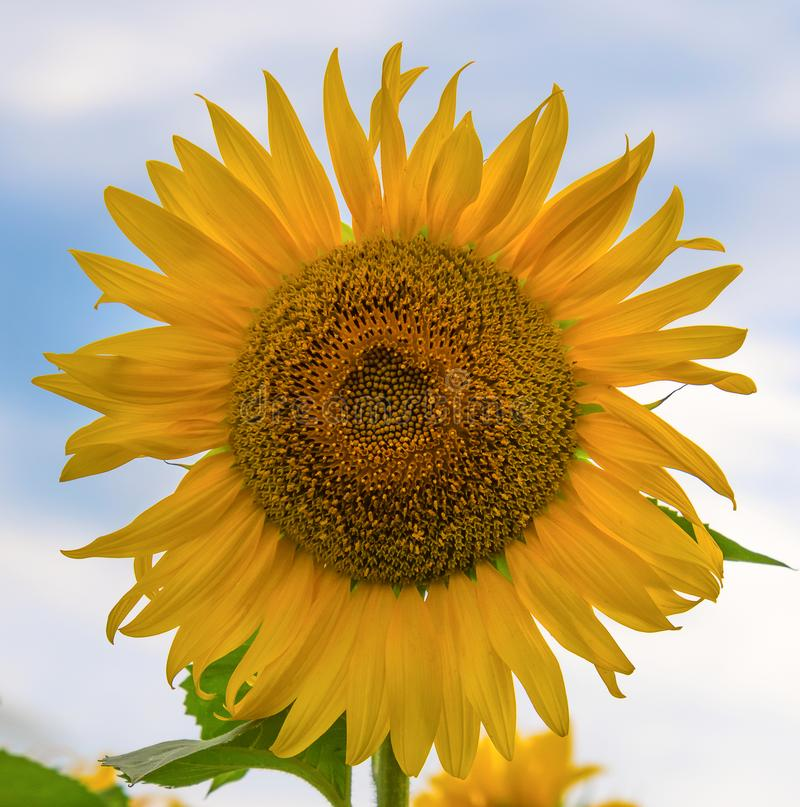 Blooming sunflower close up stock photos