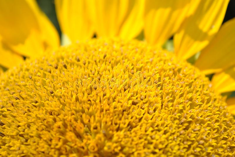 Blooming sunflower plant close up macro detail with petals, natural organic. Background royalty free stock photography