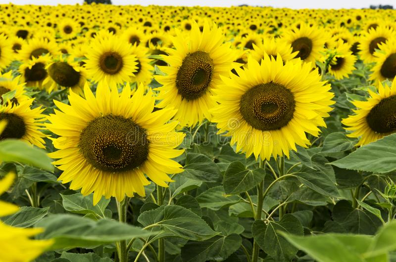 Blooming sunflowers in the field stock image