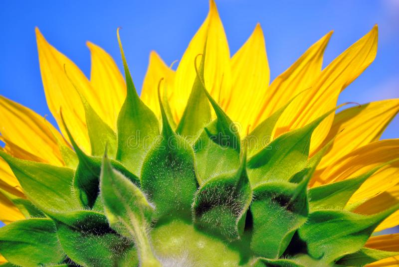 Blooming sunflowers plant flower close up, back side view close up detail, cloudy sky background. Ukraine royalty free stock image