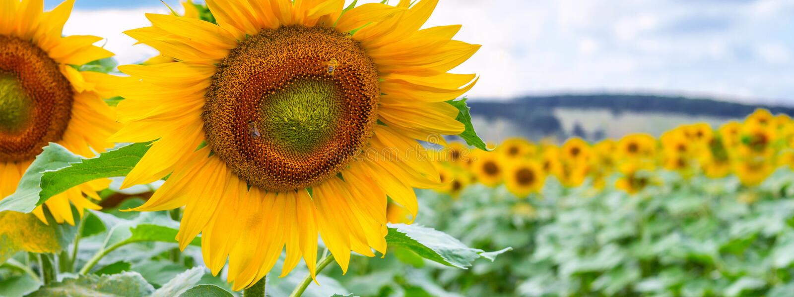 Blooming sunflowers and pollinating them honey bees stock photography