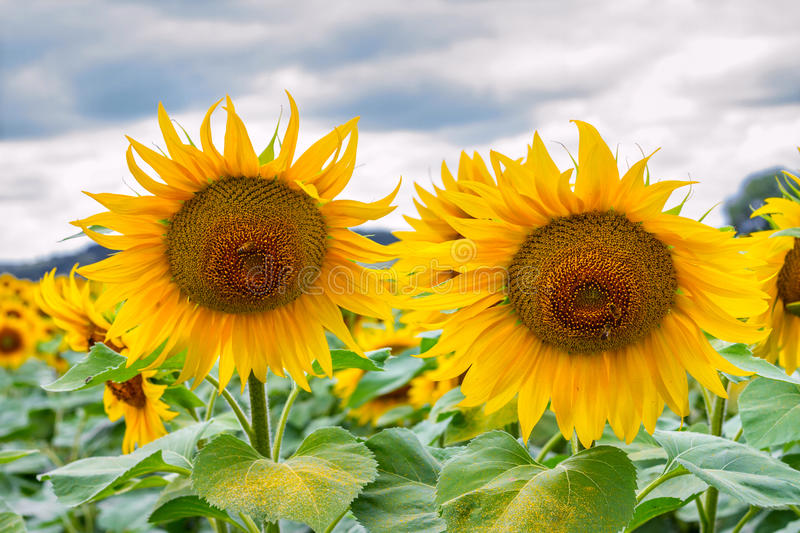 Blooming sunflowers and pollinating them honey bees royalty free stock images