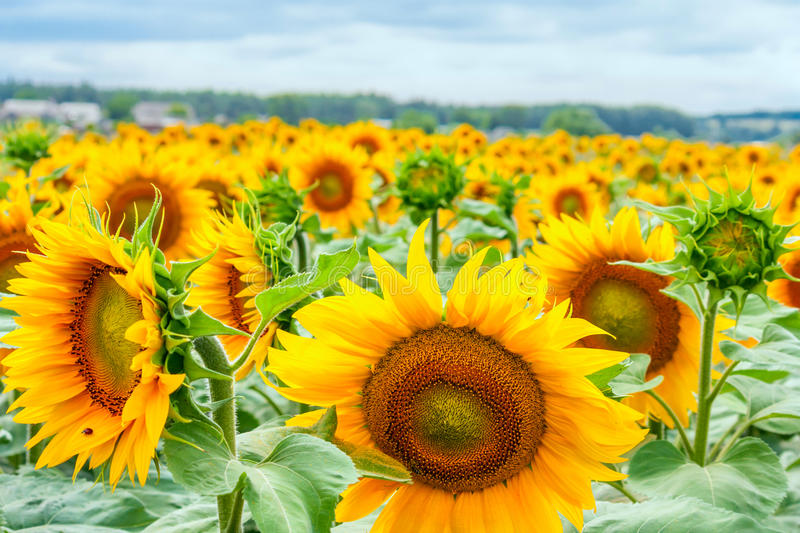 Blooming sunflowers and pollinating them honey bees stock image