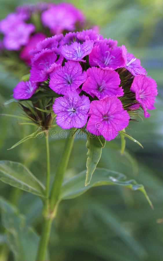 Blooming sweet william carnations, close - up view. Close - up view of a blooming sweet william or turkish carnations in the garden stock image