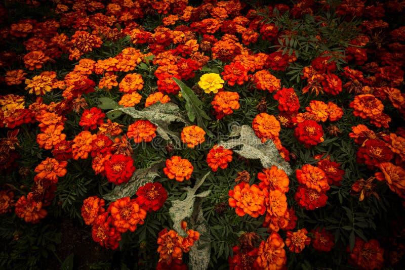 Blooming tagetes royalty free stock photos