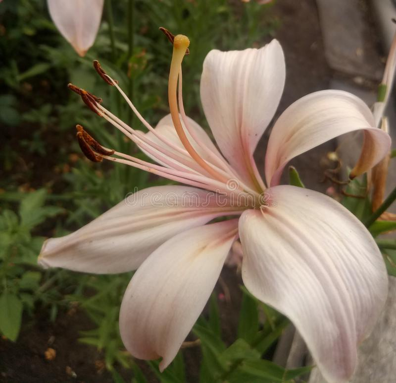 Blooming tender beautiful pink lily stock photos
