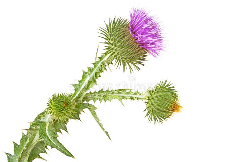 Blooming thistle flower with buds isolated on a white background royalty free stock images