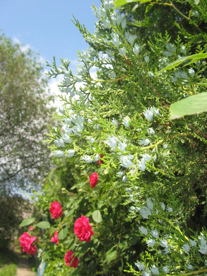 Blooming thuja. Crimson roses. Green hedge in the garden. Sunny day. Blue sky in the clouds. royalty free stock images