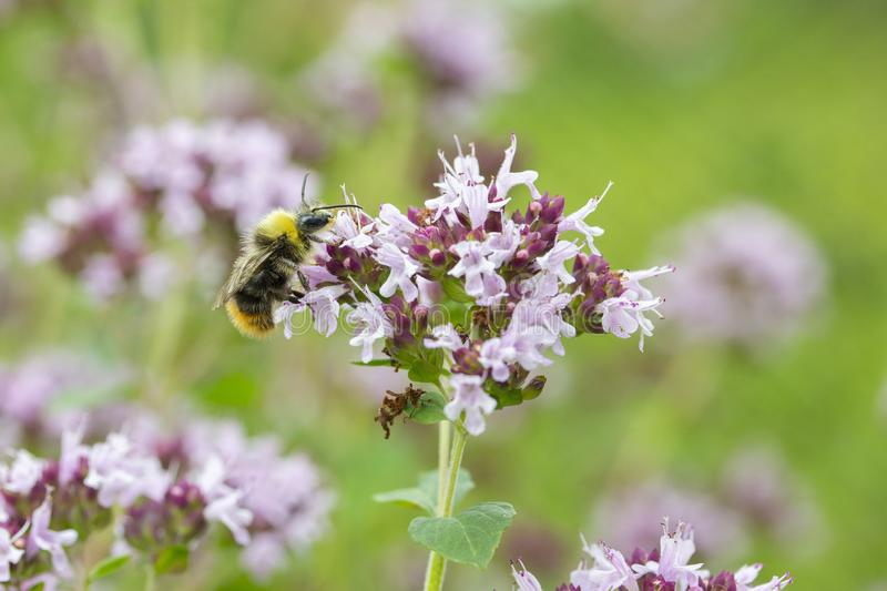 Blooming thyme, wasp pollinates lilac flowers of thyme. Fragrant herb spice, close-up wallpaper background stock photo
