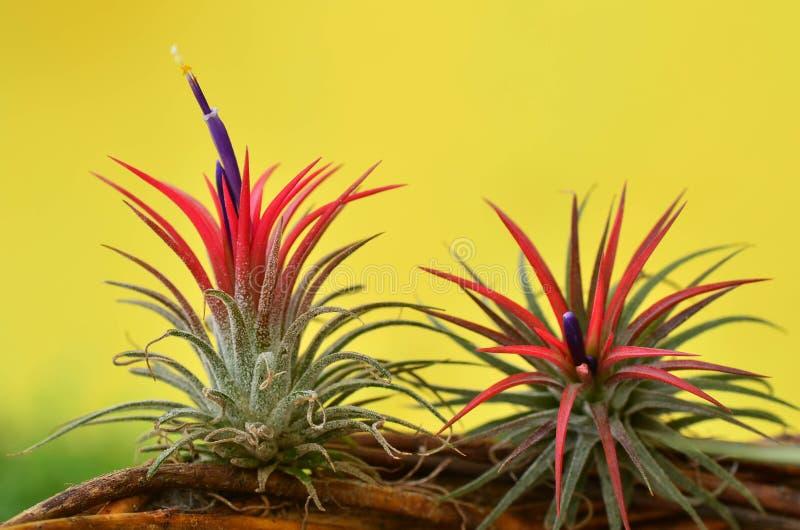 Blooming Tillandsia ionantha royalty free stock photography