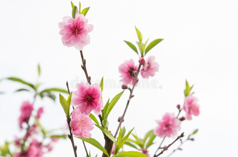 Blooming time of the cherry blossom tree. stock image
