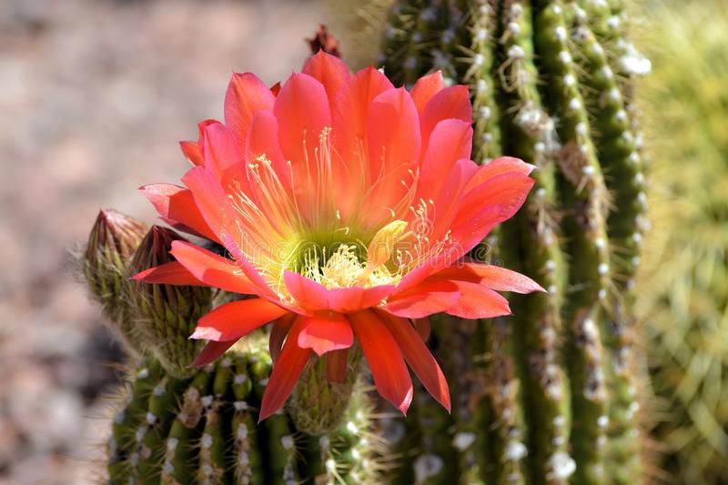 Blooming Torch Cactus stock photography