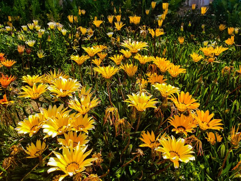 Blooming treasure flowers in field in spring season. Garden of Gazania rigens flowers outside a field blooming in spring  in perris,california royalty free stock photos