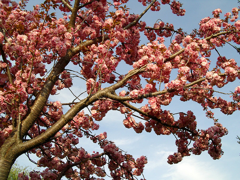 Download Blooming tree stock image. Image of tree, garden, park, flower - 2365